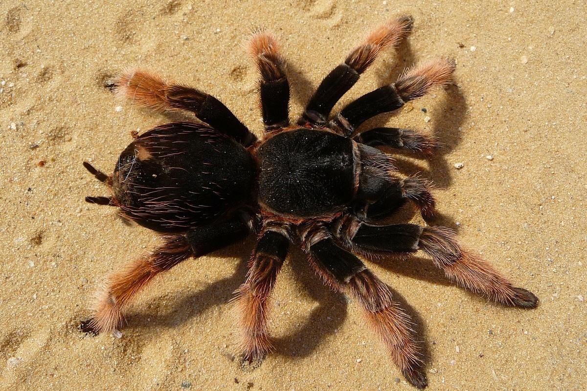 tarantula walking over sand